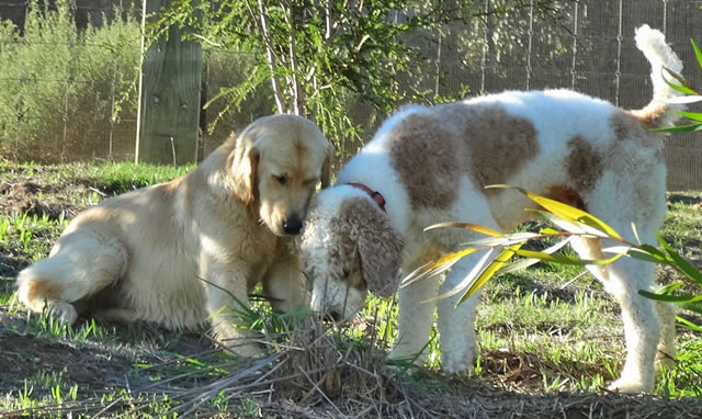 golden groodle expected litters